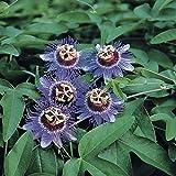 Passiflora caerulea 'Purple Haze' | Lila Passionsblume | Gartenpflanzen winterhart | Exotische...