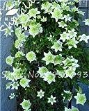 SwansGreen Bonsai Climbing Clematis Baumsamen (Nicht-Birnen) Garten-Geschenk, Staudenpflanz Seltene...
