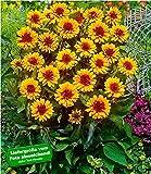 BALDUR-Garten Winterhart Heliopsis'Funky Spinner', 1 Pflanze Sonnenauge Staudenpflanze