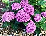 Großblumige Hortensie Hydrangea arborescens Rosa Annabelle - Größenauswahl (35-45cm - Topf 3...