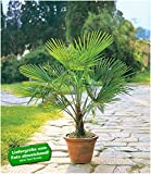 BALDUR-Garten Winterharte Kübel-Palme im 19 cm Topf, 1 Pflanze Trachycarpus