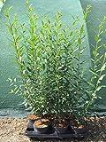Ligustrum Liguster Heckenpflanze 2-3L Topf gewachsen 60-100cm