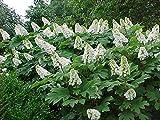 Oakleaf Hydrangea, Hydrangea Quercifolia, 50 Samen
