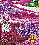 BALDUR Garten Winterharter Bodendecker Phlox-Mix Flowers of The Sea, 4 Pflanzen, Polsterphlox...