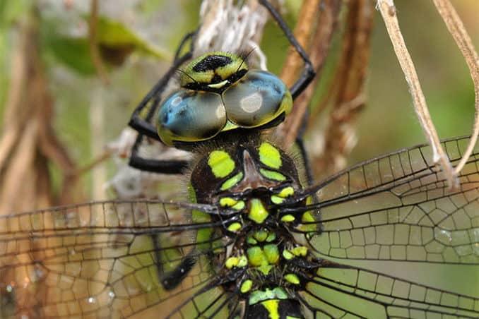 Blaugrüne Mosaikjungfer Gartentier 2019