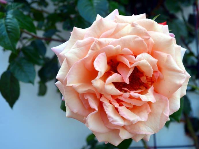 Gartenblumen - Kletterrosen