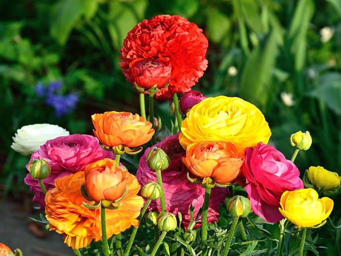Gartenblumen - Ranunkeln