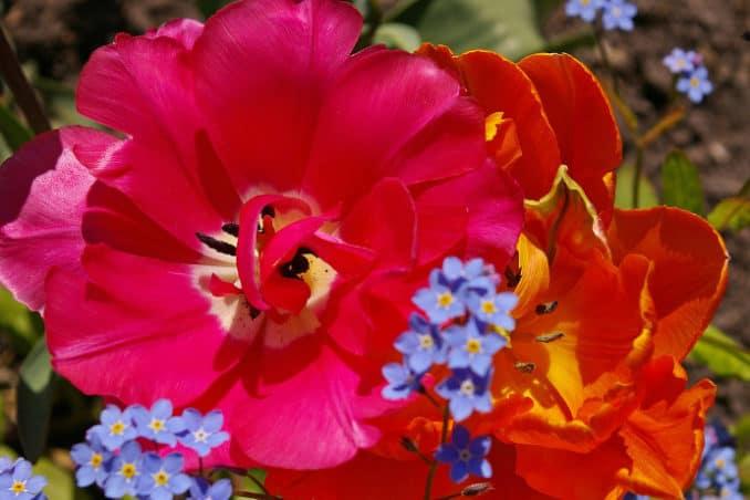 Gartenblumen - Tulpe