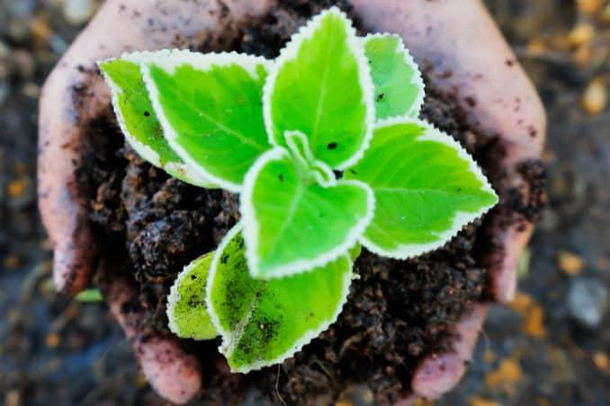Pflanze für Dachgarten