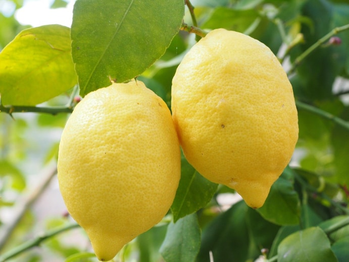 Zitronen gegen Spinnen